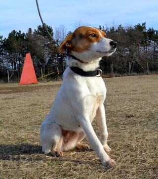 Blanka, Whipet-Beagle-Mischlingshündin, geb. ca. Januar 2016 32033650kq
