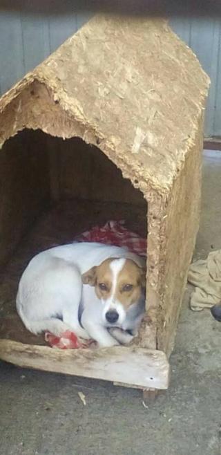 Blanka, Whipet-Beagle-Mischlingshündin, geb. ca. Januar 2016 32033666er