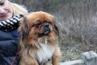 Dugo, Pekinesenmischlingsrüde, geb. ca. Januar 2015 32109117tp