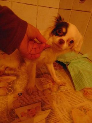 Alyssa, Chihuahuahündin, geb. ca. Dezember 2015 32169042cm
