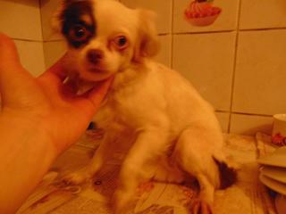 Alyssa, Chihuahuahündin, geb. ca. Dezember 2015 32169043qy