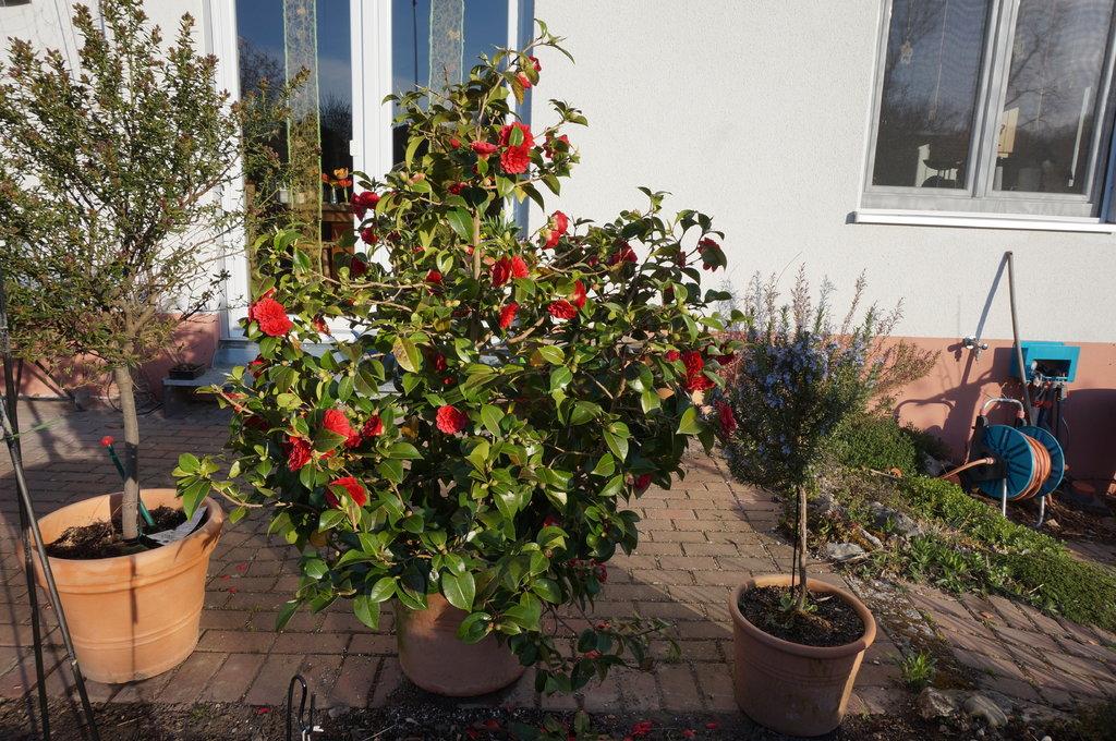Camellia - Kamelien - Seite 6 32226031pe
