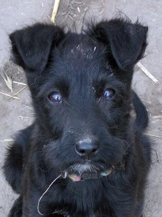 Rose, Terriermischlingshündin, geb. ca. Januar 2018 32300656ew