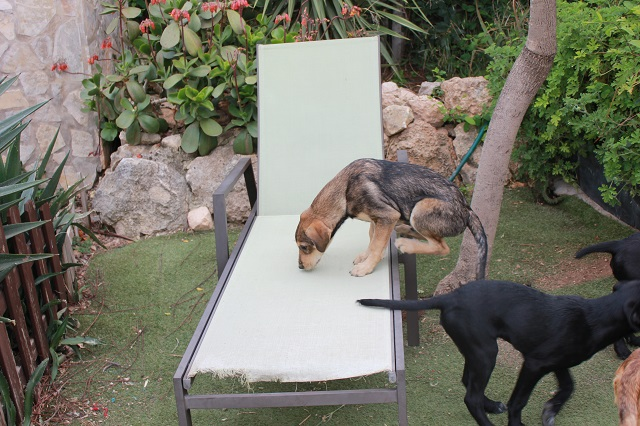Bildertagebuch - Tango, zuckersüßer Racker sitzt auf gepackten Koffern! - VERMITTELT! 32341159jr