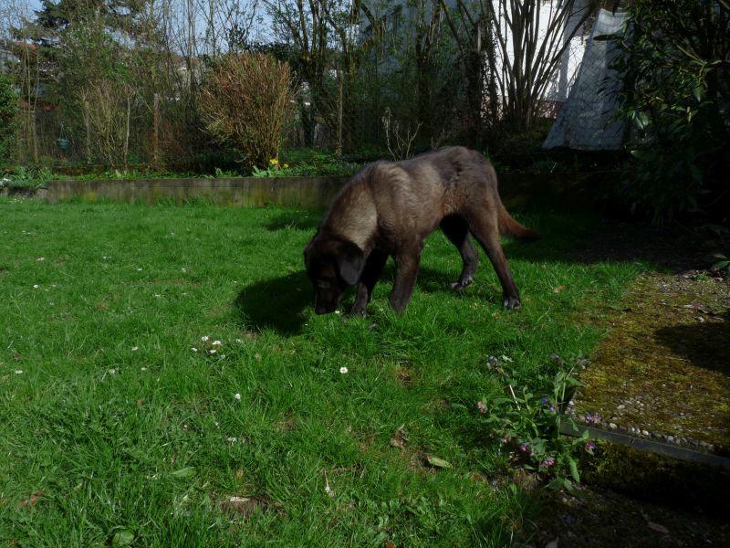 Bildertagebuch - IONA, großes, flauschiges Mädchen in der Farbe eines Wolfes - VERMITTELT! 32414438di