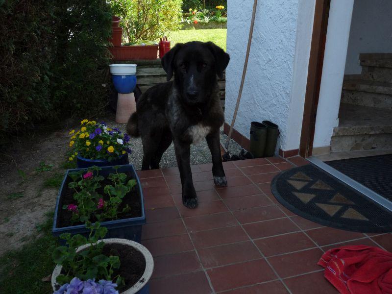 Bildertagebuch - IONA, großes, flauschiges Mädchen in der Farbe eines Wolfes - VERMITTELT! 32523408yx