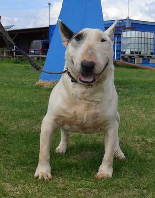 Speedy, Bullterrierrüde, geb. ca. November 2012 32566910qt