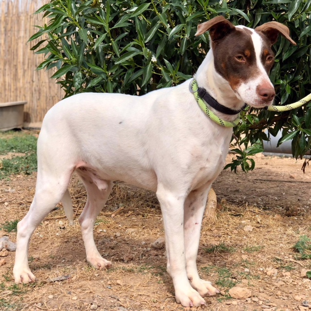Bildertagebuch  - Kylo: ein bildschöner, eleganter, und cleverer Hund für aktive Menschen! - VERMITTELT- 32660370lv
