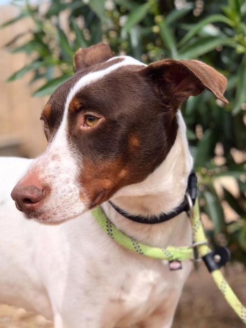 Bildertagebuch  - Kylo: ein bildschöner, eleganter, und cleverer Hund für aktive Menschen! - VERMITTELT- 32660381ax