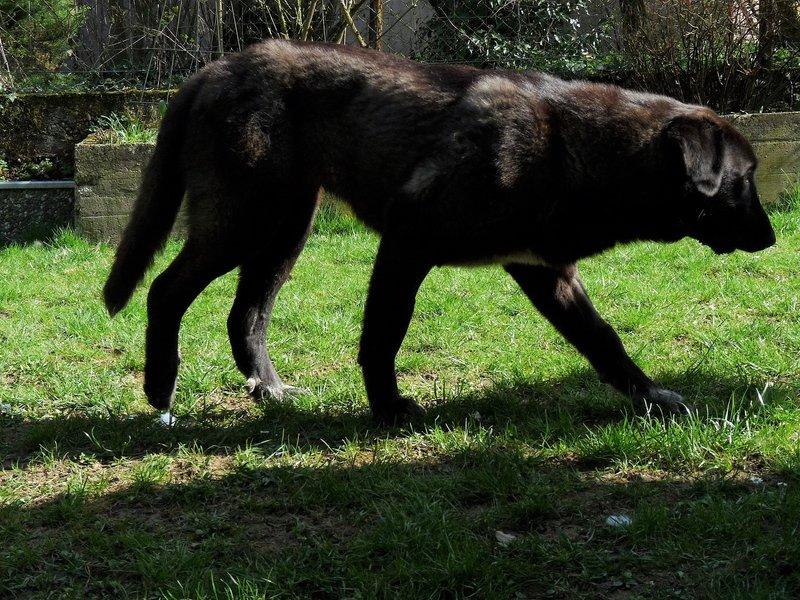 Bildertagebuch - IONA, großes, flauschiges Mädchen in der Farbe eines Wolfes - VERMITTELT! 32690582am