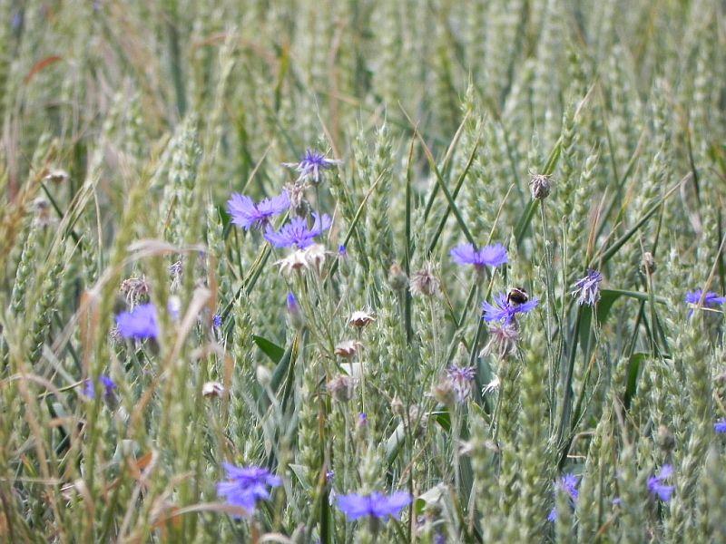 Wildblumen ( Sammelthread) - Seite 18 33223228ib