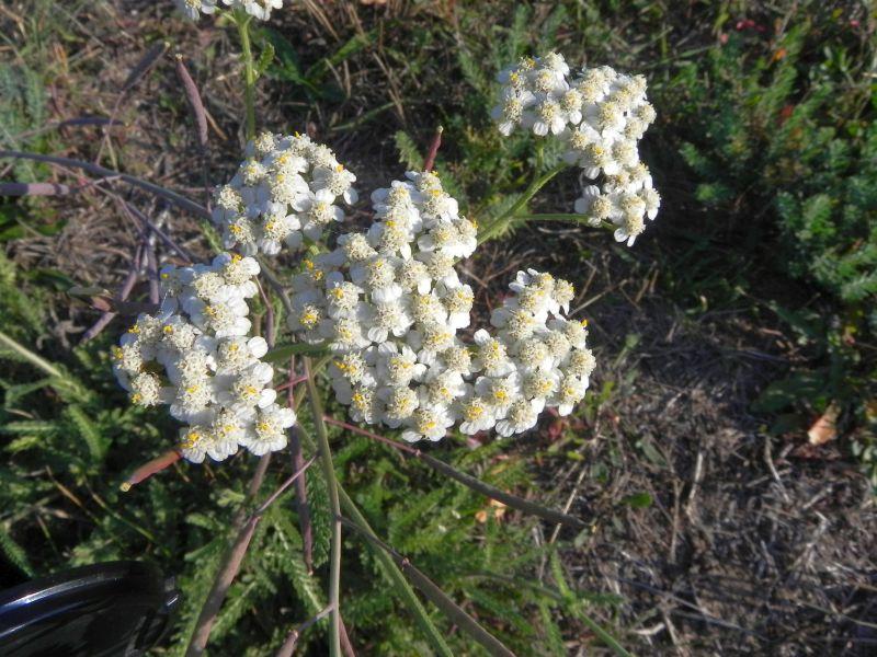 Wildblumen ( Sammelthread) - Seite 19 34077559gn