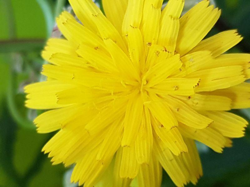 Wildblumen ( Sammelthread) - Seite 19 34077590la
