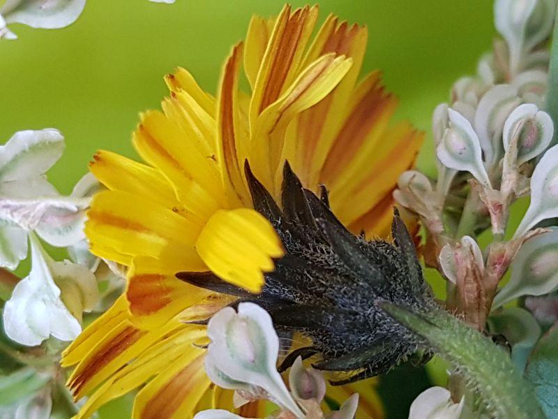 Wildblumen ( Sammelthread) - Seite 19 34077591jm