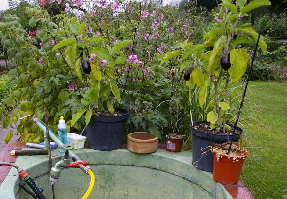 auberginen pflanzen bioland auberginen pflanzen solanum. Black Bedroom Furniture Sets. Home Design Ideas