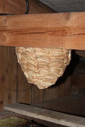 hornissennest auf dem dachboden andere tiere der hund. Black Bedroom Furniture Sets. Home Design Ideas