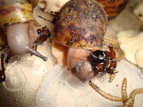 afrikanische riesenschnecken arten