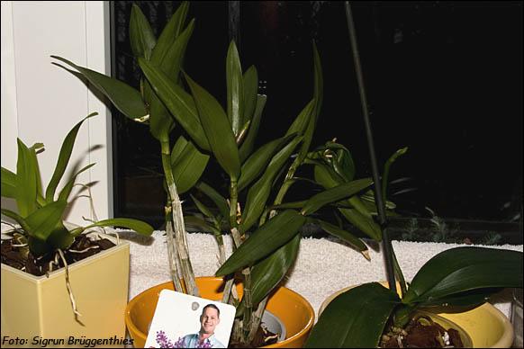 dendrobium kingianum berry oda mein sch ner garten forum. Black Bedroom Furniture Sets. Home Design Ideas
