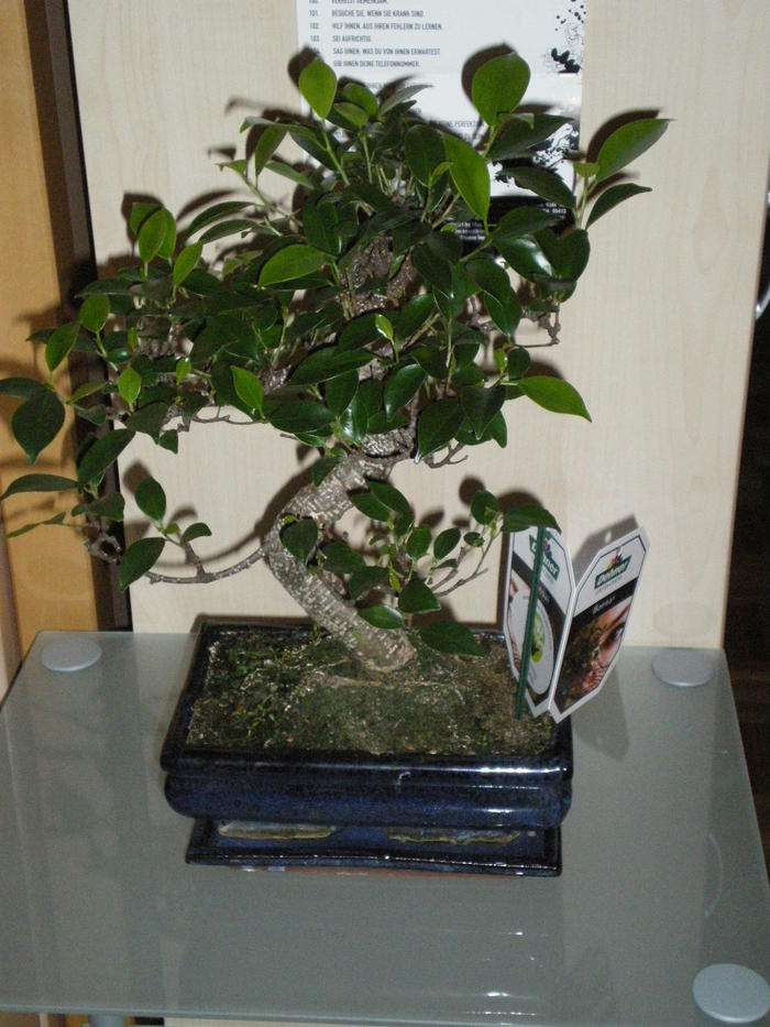 benjamin pflanze pflege decovego ficus benjamin birkenfeige kunstbaum knstliche pflanze mit. Black Bedroom Furniture Sets. Home Design Ideas