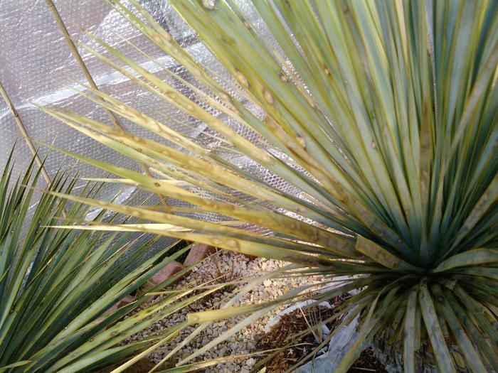 Yucca Rostrata Trocken Uberwintert Trotzdem Blattflecken