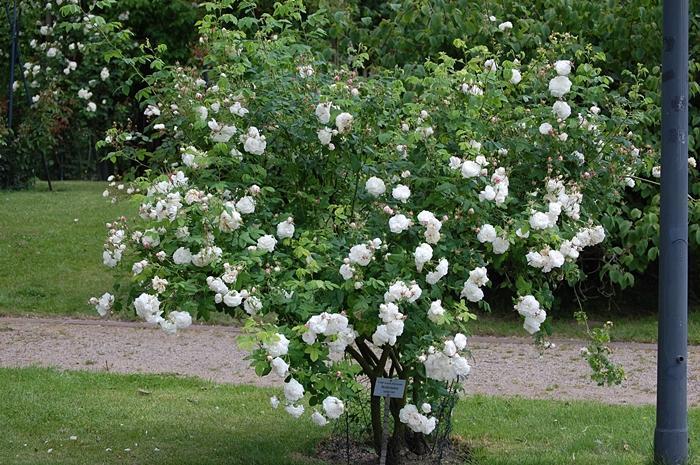 historische rosen 2011 seite 63 rund um die rose. Black Bedroom Furniture Sets. Home Design Ideas