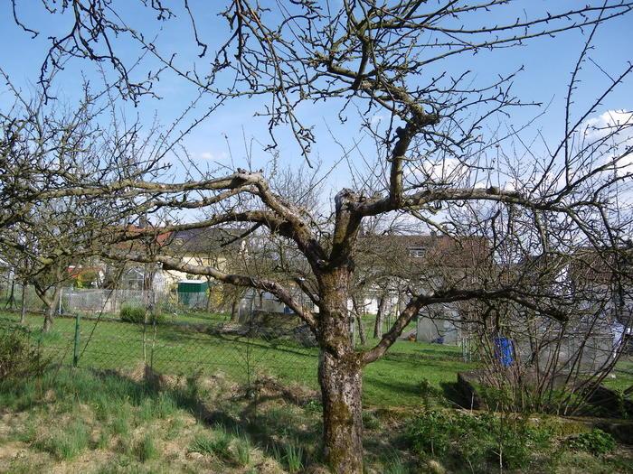 Pflaumenbäume Schneiden alte obstbäume schneiden oder neu anpflanzen bäume gehölze
