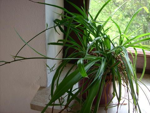 Liste zimmerpflanzen giftig und ungiftig seite 8 katzen forum - Zimmerpflanzen giftig ...