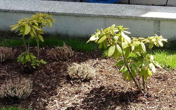rhododendron mit eisenmangel was muss ich tun. Black Bedroom Furniture Sets. Home Design Ideas