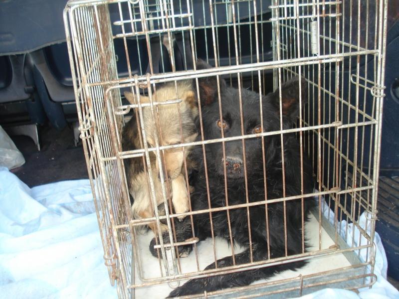 forum des vereins fellgesichter e v katastrophe ber 150 hunde seit ausbruch der epidemie im. Black Bedroom Furniture Sets. Home Design Ideas
