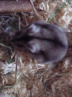 HamsterCaro