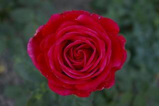 verantwortungsvolle rosenpflege seite 28 rund um. Black Bedroom Furniture Sets. Home Design Ideas