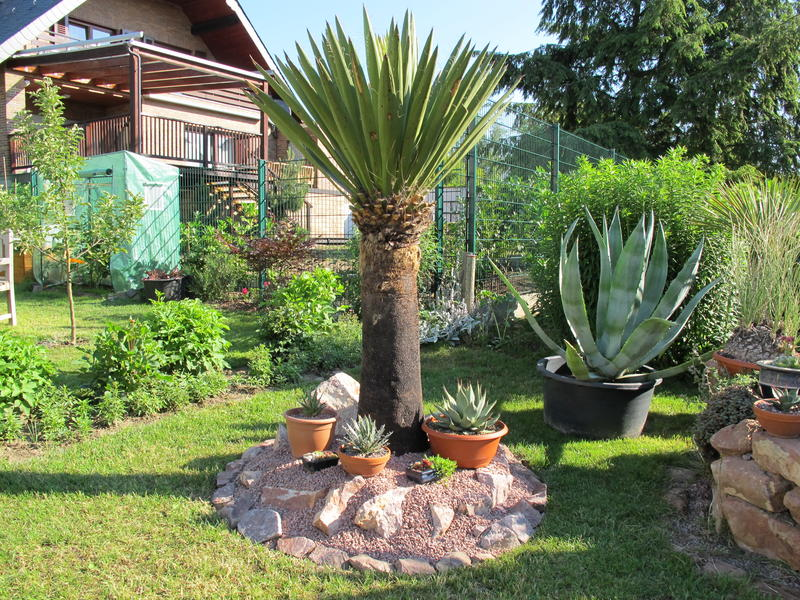 yuccas agaven co yucca faxoniana. Black Bedroom Furniture Sets. Home Design Ideas