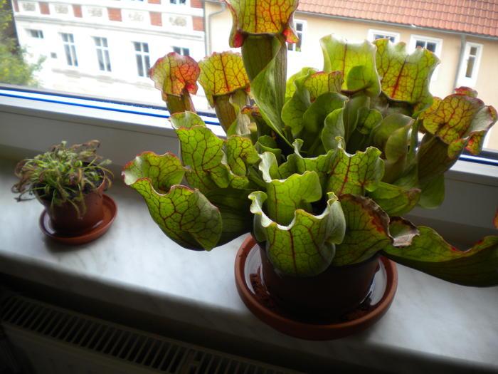 Blitzschmiede thema anzeigen meine for Kleine fliegen pflanze