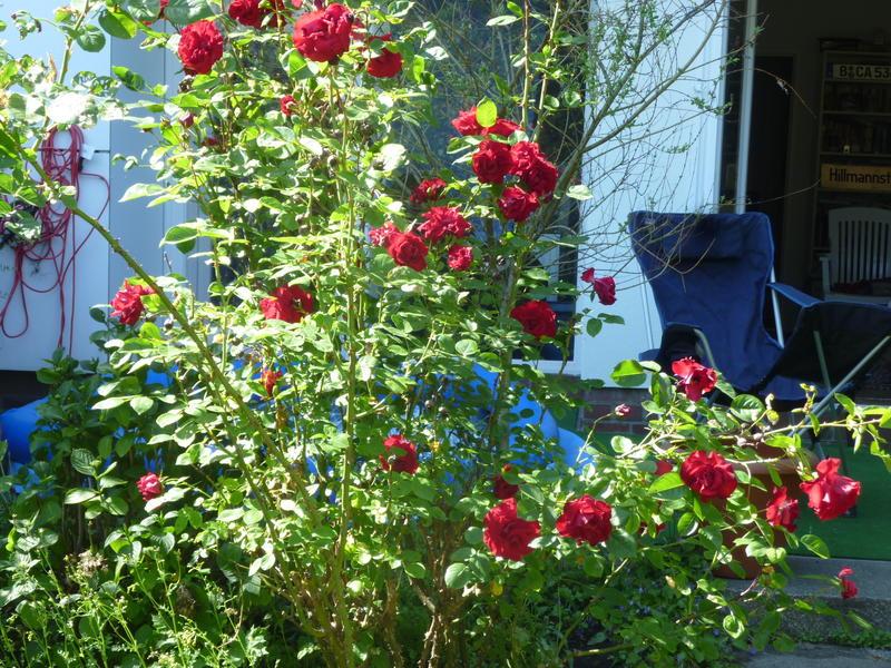 himbeerstrauch pflanzen himbeerstrauch pflanzen pflege und schneiden gehegepflanzen schildkr. Black Bedroom Furniture Sets. Home Design Ideas
