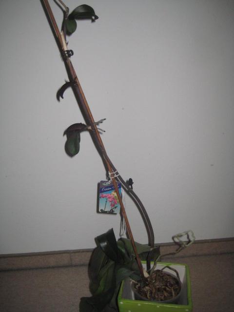 orchidee hat kindel was muss ich jetzt tun seite 1. Black Bedroom Furniture Sets. Home Design Ideas