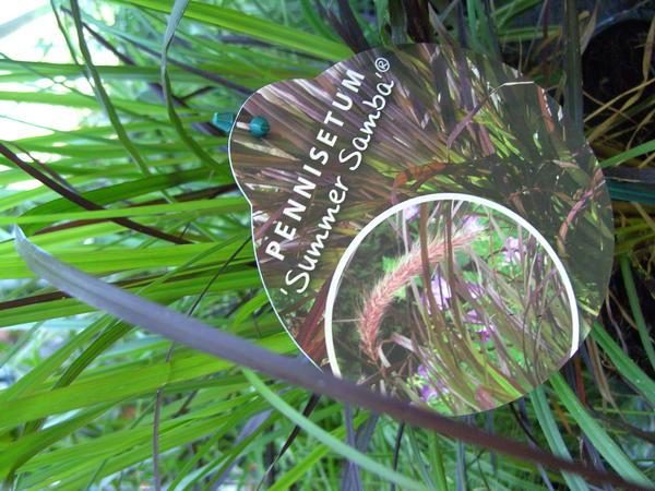 frage zu rotes lampenputzergras pennisetum setaceum rubrum seite 2 garten. Black Bedroom Furniture Sets. Home Design Ideas