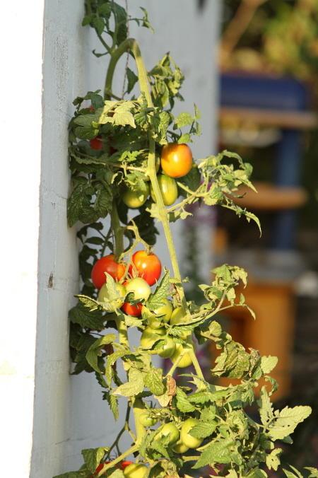 wie haltet ihr es mit dem standort von tomaten seite 4. Black Bedroom Furniture Sets. Home Design Ideas
