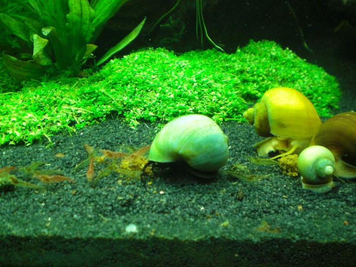 aquarien fische garnelen und schnecken das katzen forum. Black Bedroom Furniture Sets. Home Design Ideas
