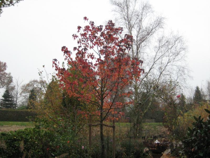 Amberbaum ohne herbstf rbung mein sch ner garten forum for Aw zeitschrift