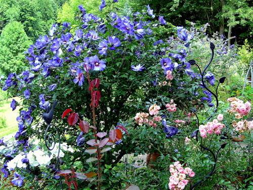 alter blauer hibiskus mag nicht mehr seite 1. Black Bedroom Furniture Sets. Home Design Ideas