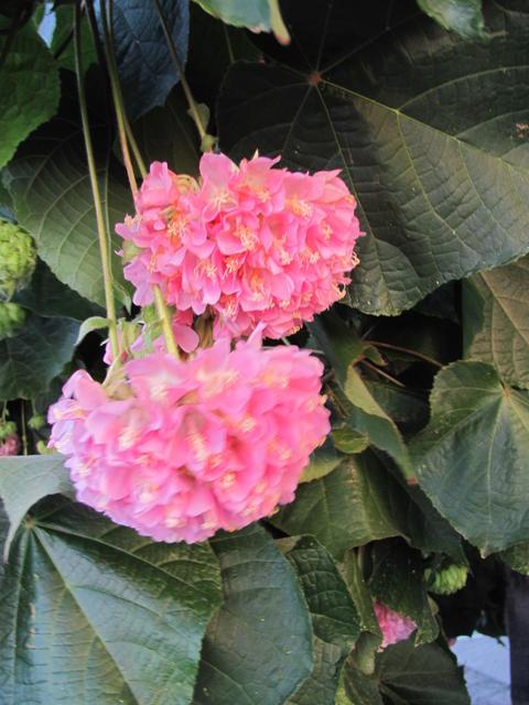 hortensienbaum dombeya botanische ecke bzw flora und. Black Bedroom Furniture Sets. Home Design Ideas