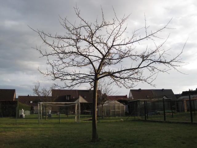 bitte hilfe zum schnitt von einem jungen apfelbaum mein sch ner garten forum. Black Bedroom Furniture Sets. Home Design Ideas