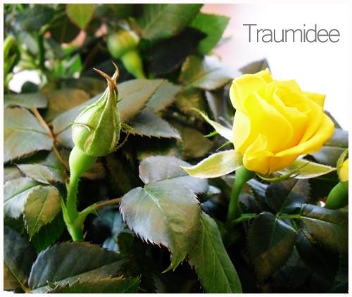 amarilias traumideen kleine rosen. Black Bedroom Furniture Sets. Home Design Ideas