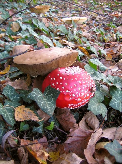 Geliebte Pilze durch Rindenmulch - Mein schöner Garten Forum @MC_07