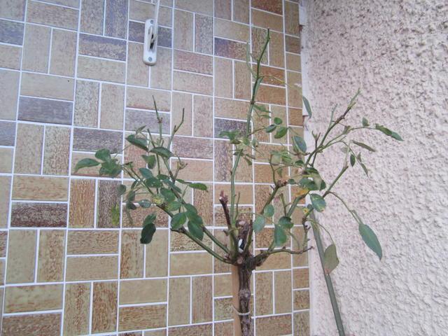 Lieblings Rose verliert Blätter :( - Mein schöner Garten Forum &HK_02