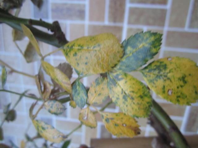 Top Rose verliert Blätter :( - Mein schöner Garten Forum #CO_35