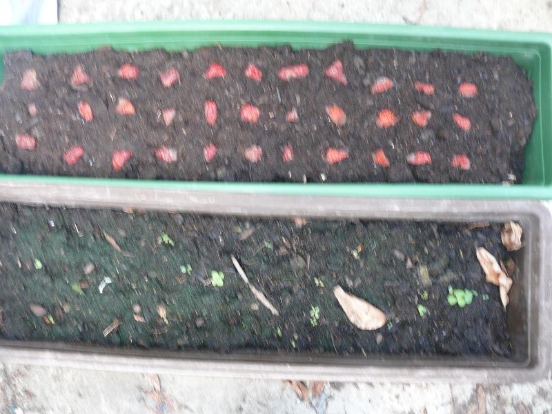 Top Erdbeeren mal ganz anderst züchten - Mein schöner Garten Forum #JO_26