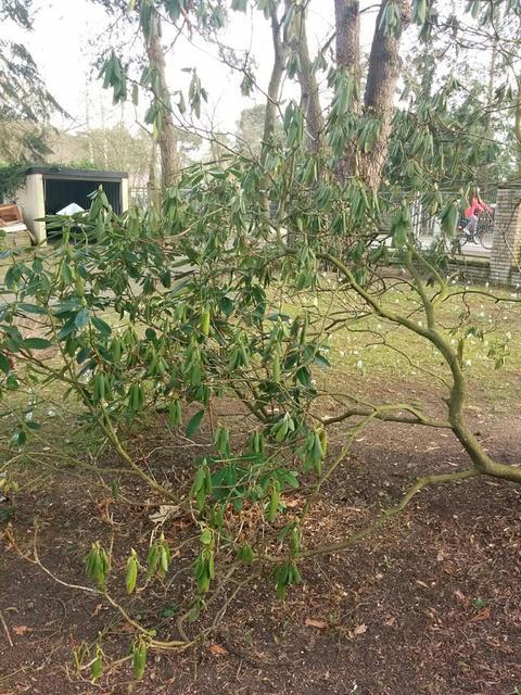 Super Rhododendron nach dem Winter vertrocknet? - Mein schöner Garten Forum IW62