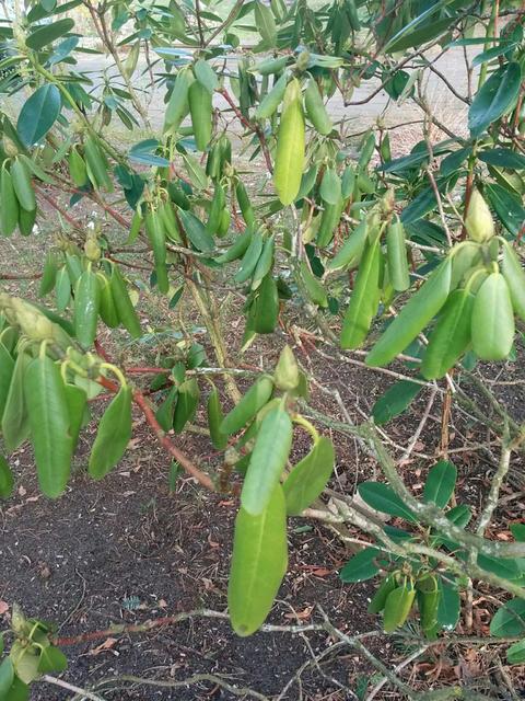 Bevorzugt Rhododendron nach dem Winter vertrocknet? - Mein schöner Garten Forum RV22