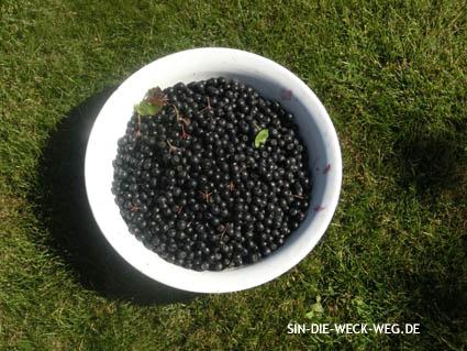 Ernten - Entsaften - Verarbeiten: Aronia, Holunder, Brombeeren